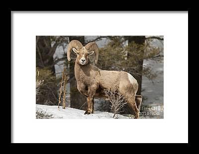 Bighorn Sheep Framed Prints