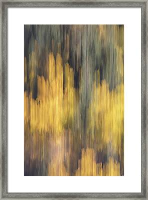 Birch Trees In The Fall  Framed Print by K Pegg