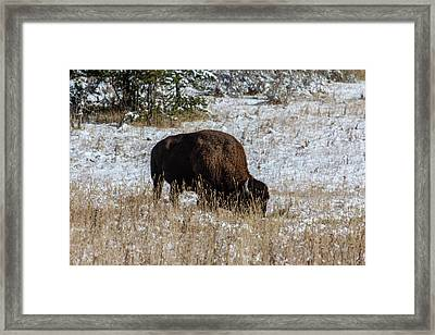 Framed Print featuring the photograph Bison In The Snow by Pete Federico