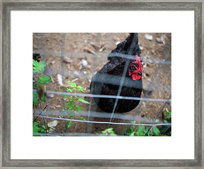 Black And Red Chicken Framed Print