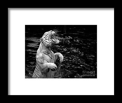 Growling Framed Prints
