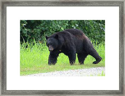 Black Bear Crossing Framed Print