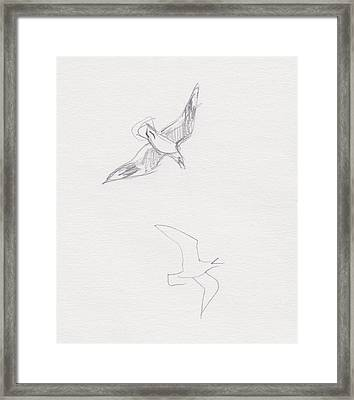Black-billed Gulls Framed Print