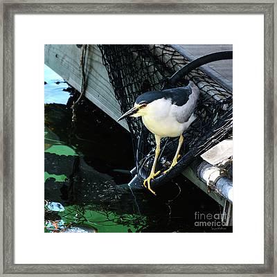 Black-crowned Night Heron Planning Its Dinner Framed Print