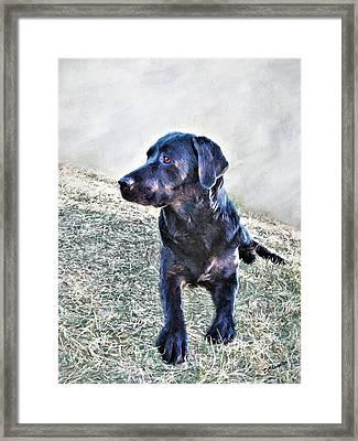 Black Labrador Retriever - Daisy Framed Print