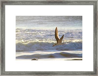 Framed Print featuring the photograph Black Skimmer In Flight by Robert Banach