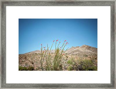 Blooming Ocotillo Framed Print