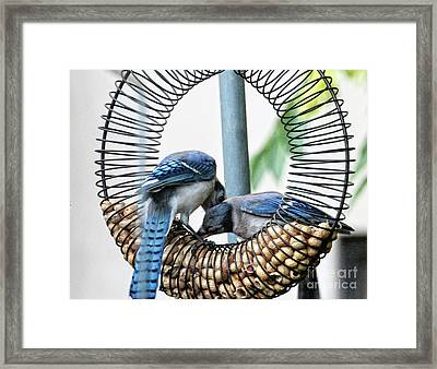 Framed Print featuring the photograph Blue Jays Wooing 1 by Patricia Youngquist