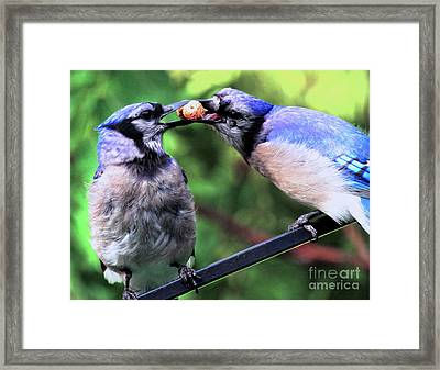 Framed Print featuring the photograph Blue Jays Wooing 2 by Patricia Youngquist