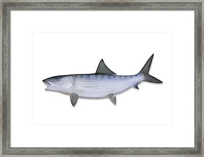 Bonefish With Clipping Path Framed Print by Georgepeters