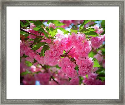 Bright Pink Blossoms Framed Print
