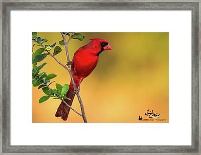Bright Red Cardinal Framed Print