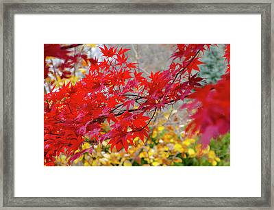 Brilliant Fall Color Framed Print
