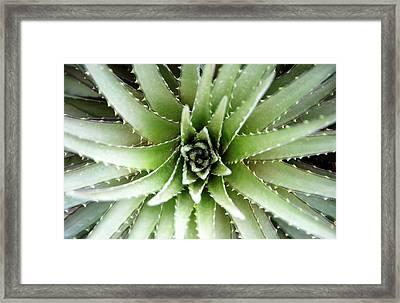 Bromeliad Dyckia Maritima, Overhead View Framed Print