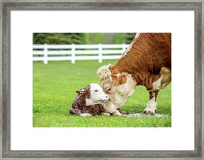 Brown & White Hereford Cow Licking Framed Print by Emholk