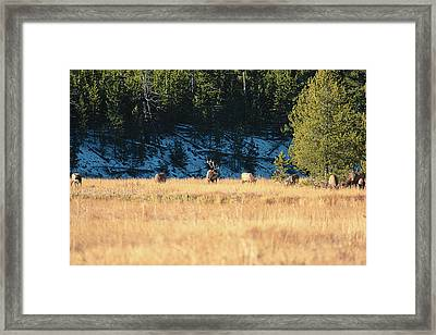 Framed Print featuring the photograph Bull And His Babes by Pete Federico