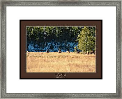 Framed Print featuring the photograph Bull And His Babes Poster by Pete Federico