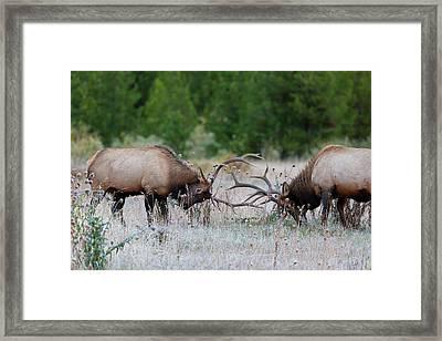 Bull Elk Battle Rocky Mountain National Park Framed Print