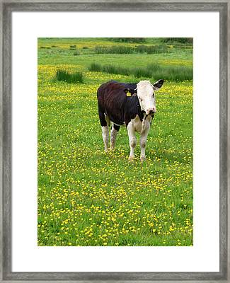 Bullock In Field Framed Print by Myloupe/uig