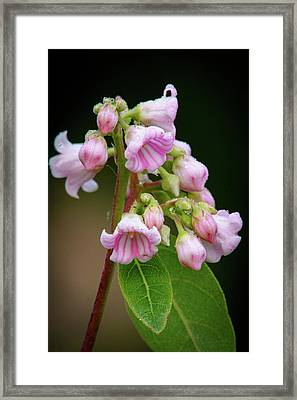 Bunch Of Dogbane Framed Print