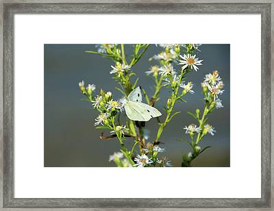 Cabbage White Butterfly On Flowers Framed Print