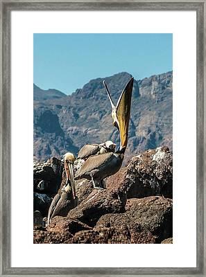 California Brown Pelicans In Ilsa Danzante Harbor Framed Print