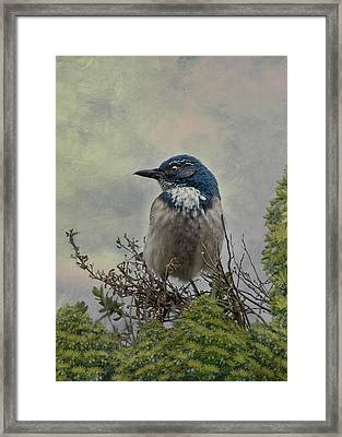 California Scrub Jay - Vertical Framed Print