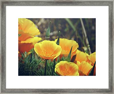 Californian Poppies In The Patagonia Framed Print