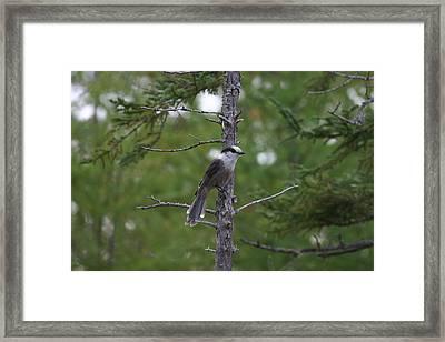 Canada Jay 101305 Framed Print