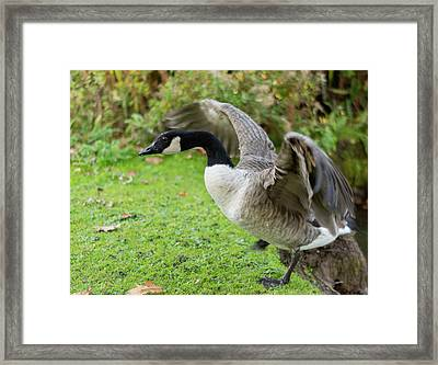 Framed Print featuring the photograph Canadian Goose With Wings Stretched by Scott Lyons