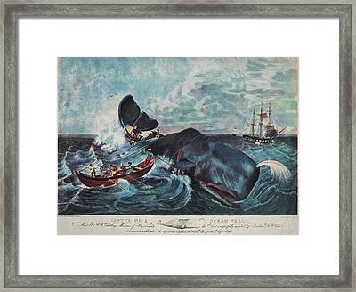 Capturing A Sperm Whale Framed Print by Hulton Archive