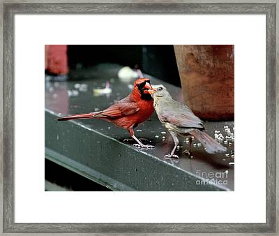 Framed Print featuring the photograph Cardinal Love 2 by Patricia Youngquist
