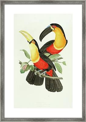 Channel-billed Toucan Framed Print