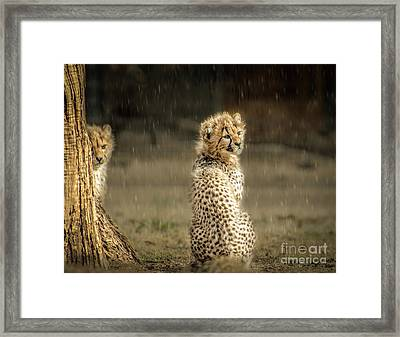Cheetah Cubs And Rain 0168 Framed Print