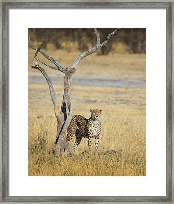 Framed Print featuring the photograph Cheetah by John Rodrigues