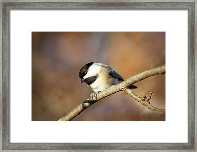 Framed Print featuring the photograph Chickadee by Sue Collura