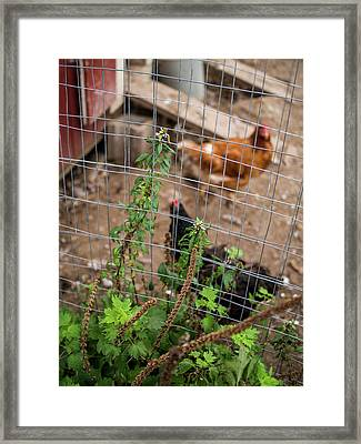 Framed Print featuring the photograph Chickens by Whitney Leigh Carlson
