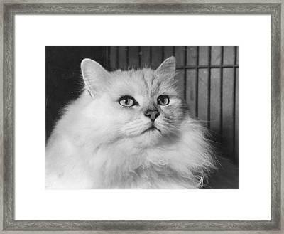 Chinchilla Cat Framed Print by Folb