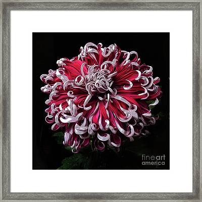Framed Print featuring the photograph Chrysanthemum 'lilli Gallon' by Ann Jacobson