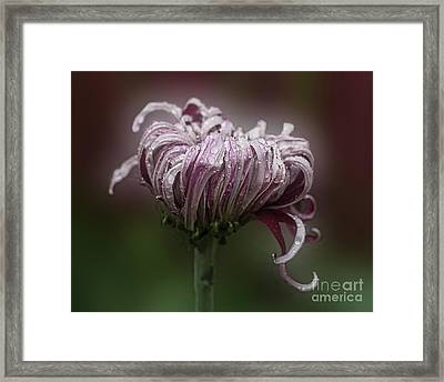 Framed Print featuring the photograph Chrysanthemum 'lily Gallon' by Ann Jacobson