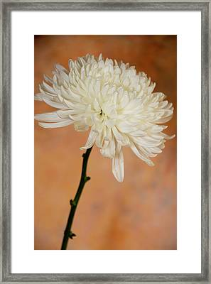 Chrysanthemum On Canvas Framed Print