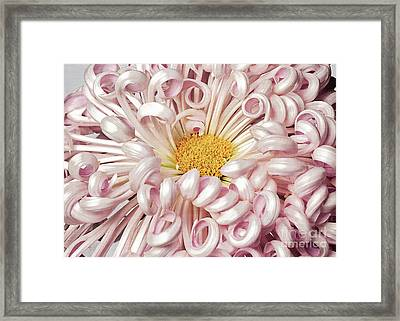 Framed Print featuring the photograph Chrysanthemum Satin Ribbon by Ann Jacobson