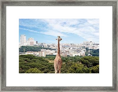 City Giraffe Framed Print by Richard Newstead