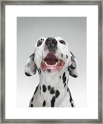 Close Up Of A Dalmatian Dog Framed Print by Tim Macpherson