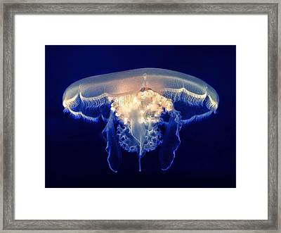 Close-up Of A Jelly Fish Monterey Bay Framed Print by James Perdue / Eyeem