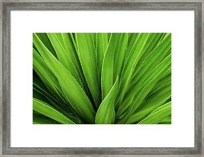 Close Up Of Aloe Plant Framed Print by Sebli Ayie / Eyeem