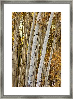 Colorado Aspens Framed Print