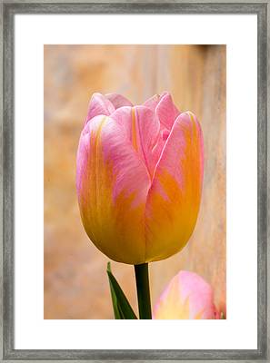 Colorful Tulip Framed Print