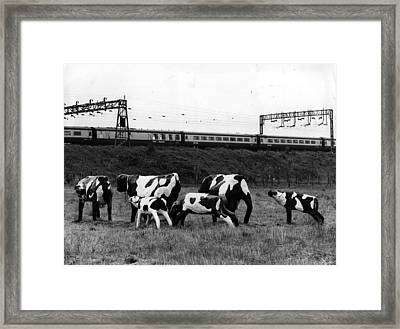Concrete Cows Framed Print by Ian Tyas