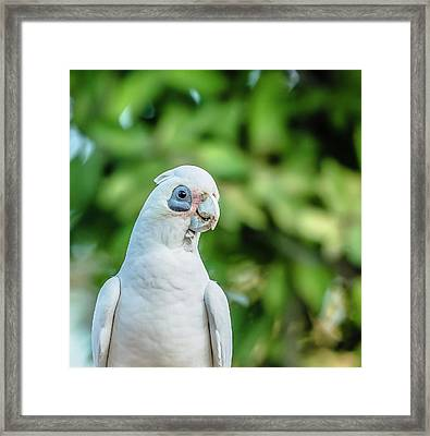 Framed Print featuring the photograph Corellas Outside During The Afternoon. by Rob D
